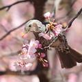 Photos: 210220-12ヒヨドリとカワヅザクラ