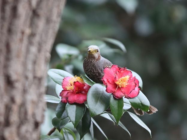 210226-5ヒヨドリとツバキの花
