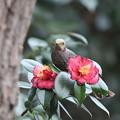 Photos: 210226-5ヒヨドリとツバキの花