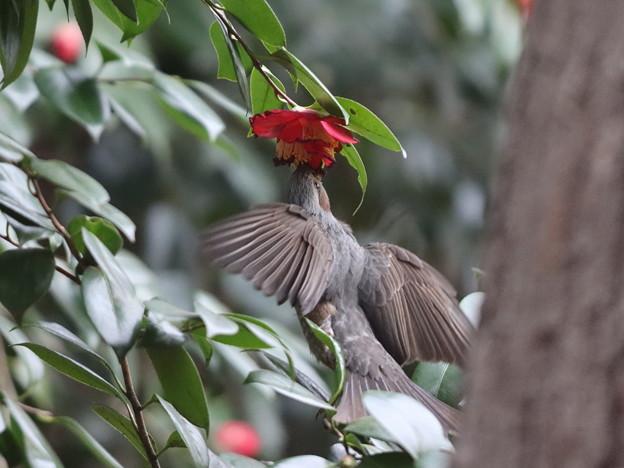 210226-6ツバキの花の蜜をホバリングしながら吸うヒヨドリ