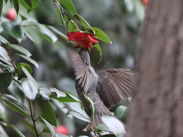 210226-7ツバキの花の蜜をホバリングしながら吸うヒヨドリ