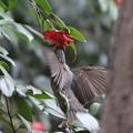 Photos: 210226-7ツバキの花の蜜をホバリングしながら吸うヒヨドリ