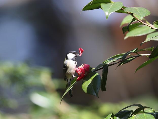 210326-2ツバキの花びらをつまむシジュウカラ