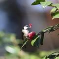 Photos: 210326-2ツバキの花びらをつまむシジュウカラ