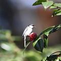 Photos: 210326-4ツバキの花びらをつまむシジュウカラ