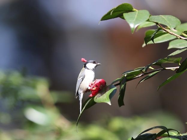 Photos: 210326-5右の写真でつまんだ花びらを捨てるシジュウカラ