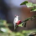 210326-5右の写真でつまんだ花びらを捨てるシジュウカラ