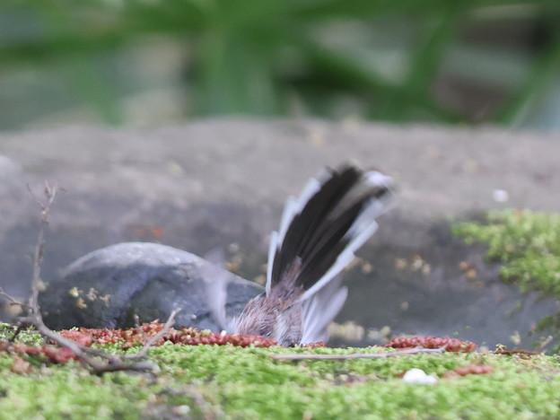 210328-2水浴び中のエナガの尻尾