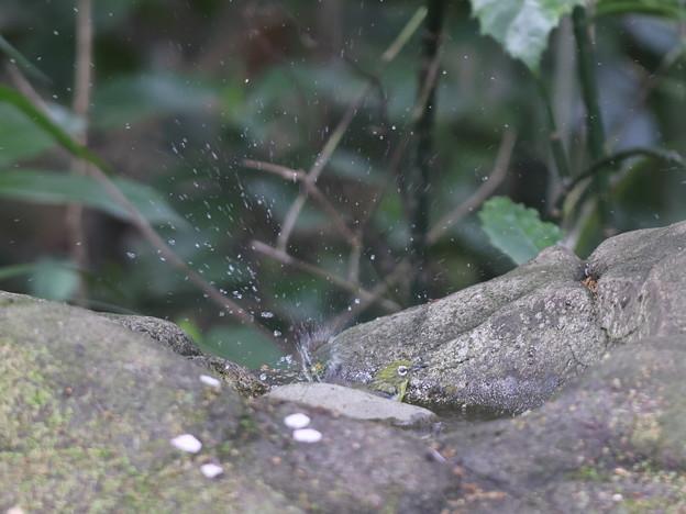 210330-3メジロの水浴び