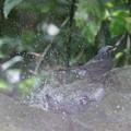 210412-6ヒヨドリの水浴び