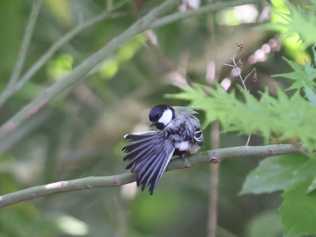210427-14シジュウカラの尾羽