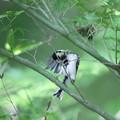210501-1水浴び後の羽繕い・シジュウカラ