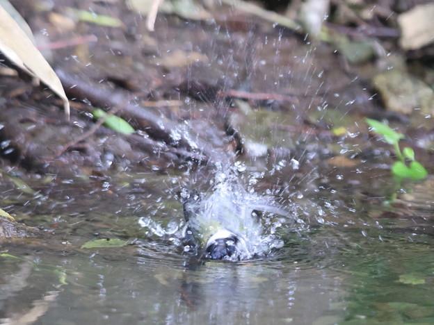 210607-1シジュウカラの水浴び