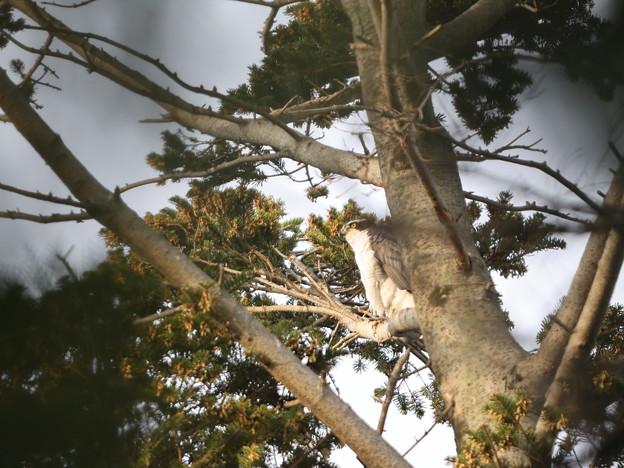 オ210407オオタカ・いつも雌がいる枝に止まっていますが多分雄・雌は巣の中