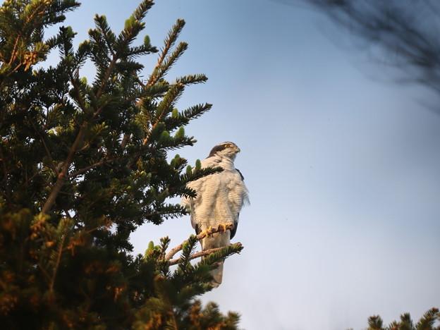 オ210408-1巣の近くの高い木のてっぺんで巣を見守る雄