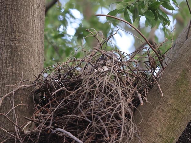 オ210408-2巣の中で抱卵している雌の目