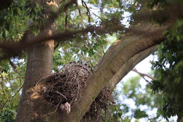 オ210504抱卵開始から29日目・抱卵を続けているようです・オオタカの巣・親の尾羽が見えます