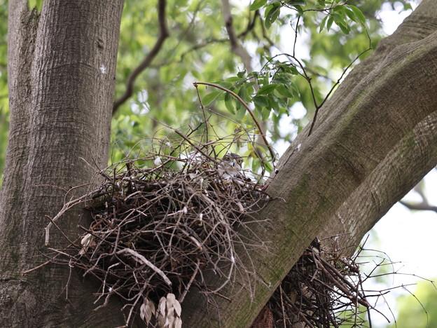 オ210506-5抱卵開始から31日目・巣で卵を温める親