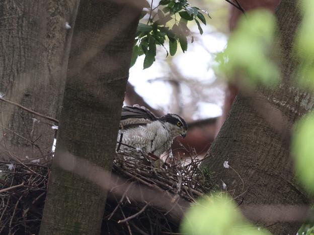 オ210507抱卵開始から32日目・巣で立ち上がった親