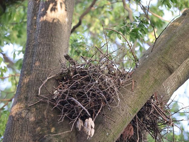 オ210508抱卵開始から33日目・巣に親の尾羽が見えます