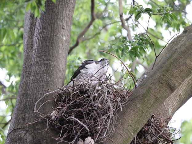 オ210510-2抱卵開始から35日目・巣にいるオオタカ