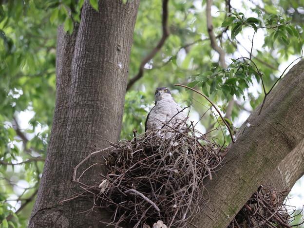 オ210510-3抱卵開始から35日目・巣にいるオオタカ