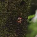 Photos: ア210405巣穴から外を見る♂