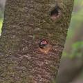 Photos: ア210410-5巣から顔を出すアオゲラ