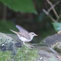 Photos: 210719-3キビタキ幼鳥?