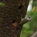 Photos: ア210414-1巣に近づいたアオゲラ♂