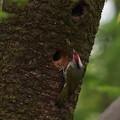Photos: ア210414-2巣に入るアオゲラ♂