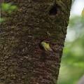 Photos: ア210414-3巣に入るアオゲラ♂・巣に入ったので連写を止めた直後アオゲラが飛び出してきた