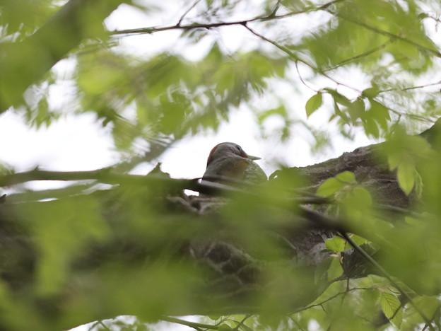 Photos: ア210414-4二羽のアオゲラが近くにいます