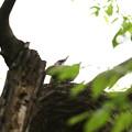 Photos: ア210414-7交尾に入るアオゲラ