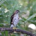 Photos: 210922-1ツミ幼鳥