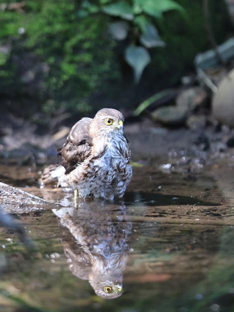 210922-4水に入ったツミ幼鳥