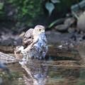Photos: 210922-4水に入ったツミ幼鳥