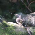 Photos: 211006-6キビタキ♀tの水浴び