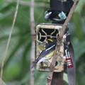 211010-16トレイルカメラとキビタキ♂