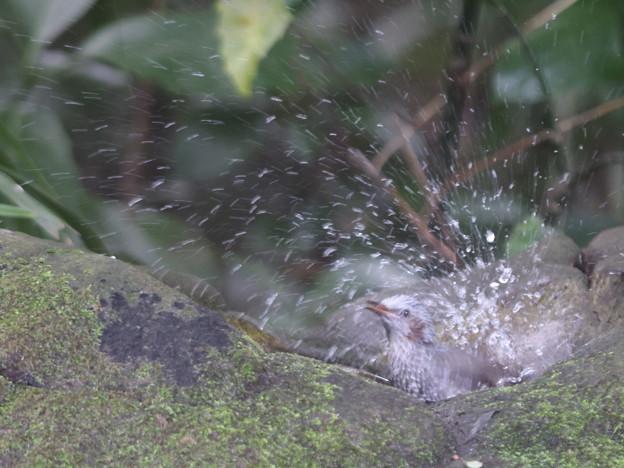 211015-3ヒヨドリの水浴び