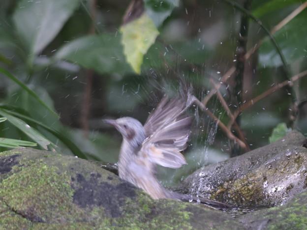 211015-5ヒヨドリの水浴び