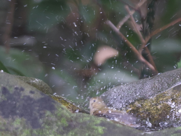 211015-6キビタキ♀tの水浴び