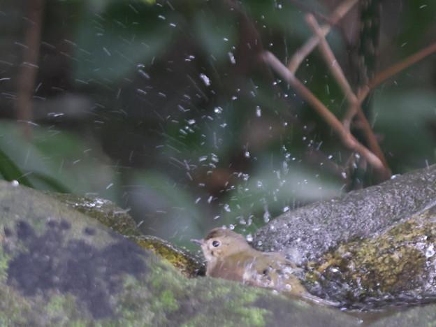 211015-8キビタキ♀tの水浴び