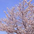 Photos: 桜・満開・春爛漫