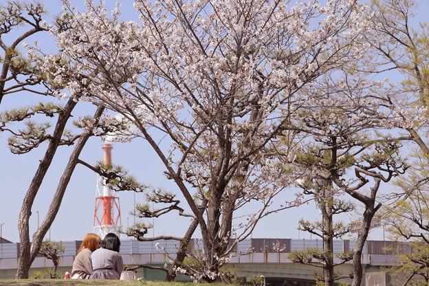 桜・満開・春爛漫