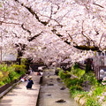 Photos: 宿河原堤桜並木