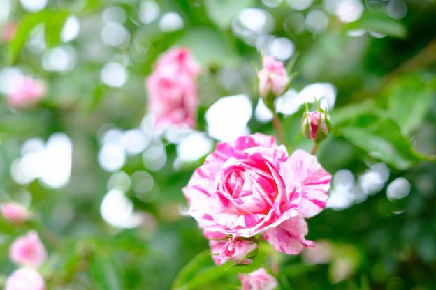 生田緑地 薔薇
