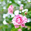 Photos: 生田緑地 薔薇