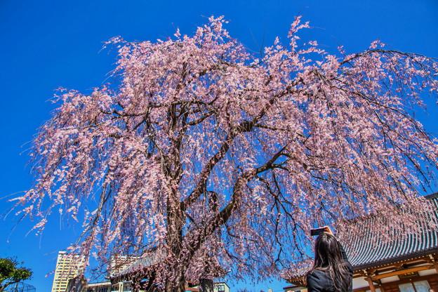 谷中 長明寺の枝垂れ桜