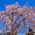 Photos: 谷中 長明寺の枝垂れ桜